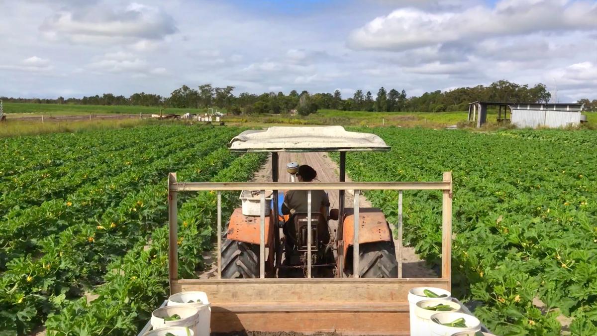 VLOG – Récolte des courgettes en Australie – épisode 3